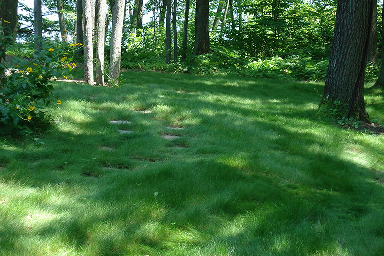 No mow lawn growing in a shady wooded setting