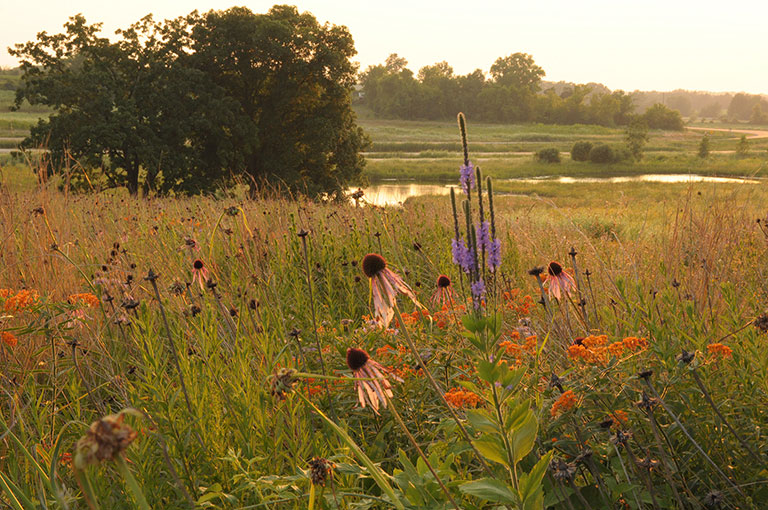 Prairie seed mix with native wildflowers and grasses