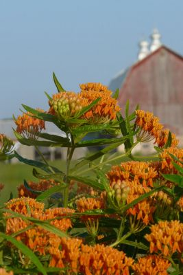 asclepias tuberosa with barn in the background