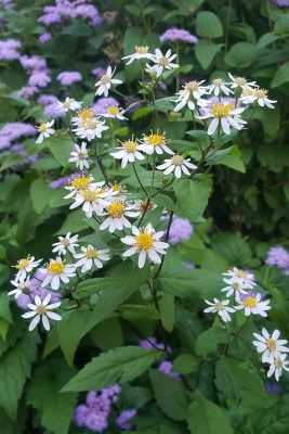 white wood aster flowers in the garden