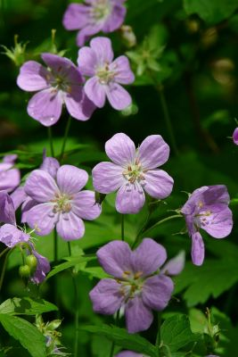 wild geranium plants in the shade