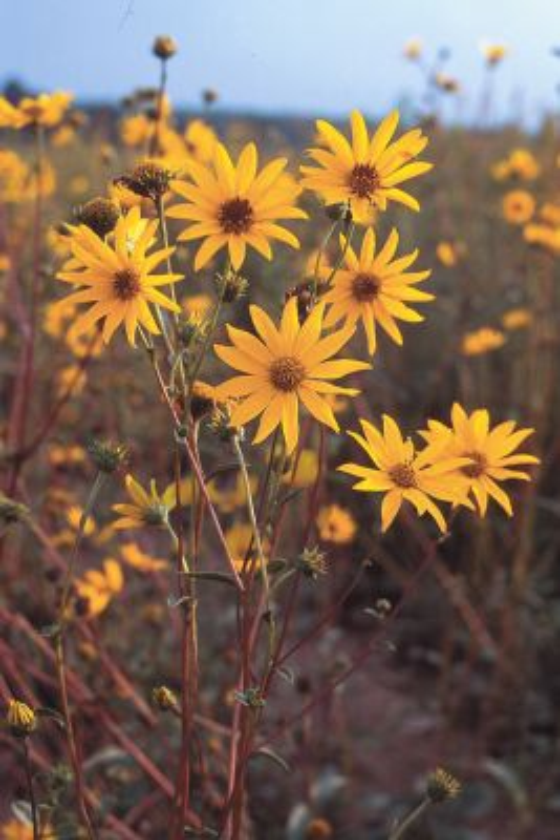 Helianthus occidentalis Western Sunflower plants