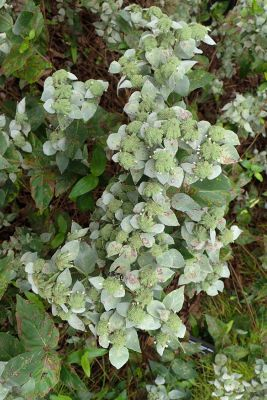 PYCNANTHEMUM MUCTICUM SHORT TOOTHED MOUNTAIN MINT FLOWERS & LEAVES