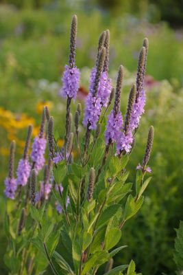 hoary vervain - verbena stricta plant in the garden