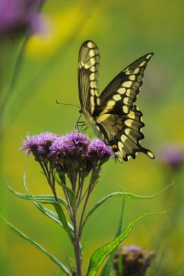 ironweed - vernonia fasciculata flower with giant swallowtail butterfly
