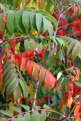 fall color of smooth sumac leaves