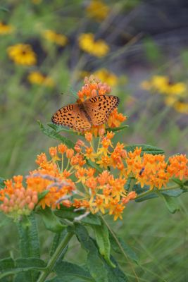 Butterfly Prairie for Dry Soils