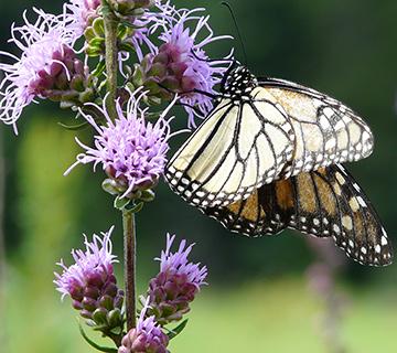 monarch butterfly on rough blazingstar