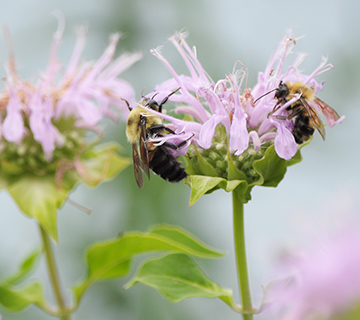 monarda with two bumble bees