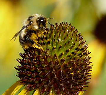bumble bee pollinating a native coneflower