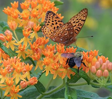 pollinators on a.tuberosa