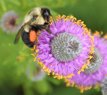 bumble bee on purple clover