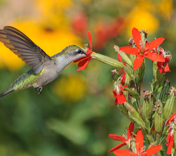 hummingbird at royal catchfly flowers