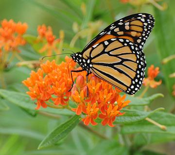 monarch on orange butterflyweed