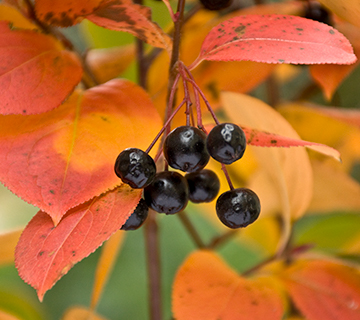 native shrub with great fall color