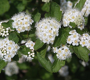 shrubs for privacy and hedgerow