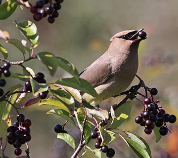 best shrubs for birds