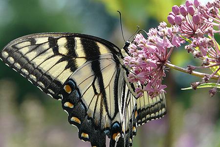 swallowtail butterfly in butterfly garden