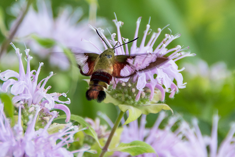 pollinator garden with clearwing moth on monarda