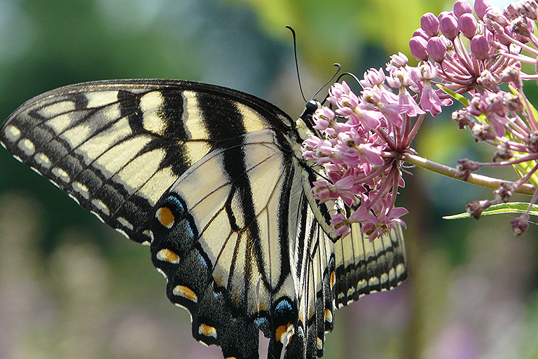 swallowtail in the butterfly garden