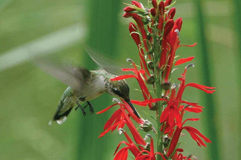 hummingbird seeking nectar from cardinal flower