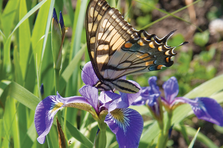 yellow swallowtail on iris flower