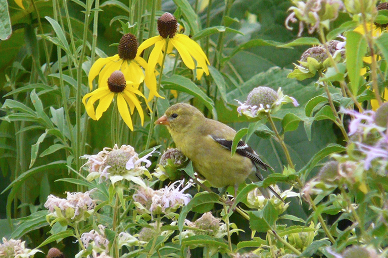 gold finch eating seeds with monarda and yellow coneflower