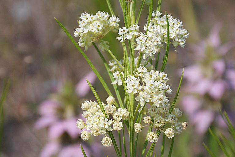 plants for dry sites with whorled milkweed