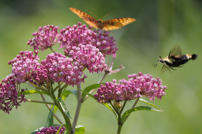 red milkweed with butterfly and pollinator