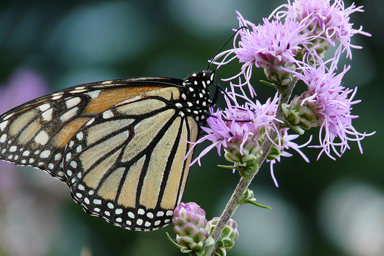 monarch butterfly on liatris apsera