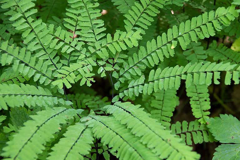 maidenhair fern - adiantum pedatum