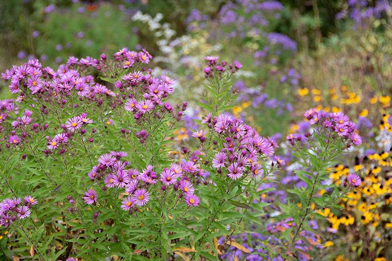 rain garden full of asters