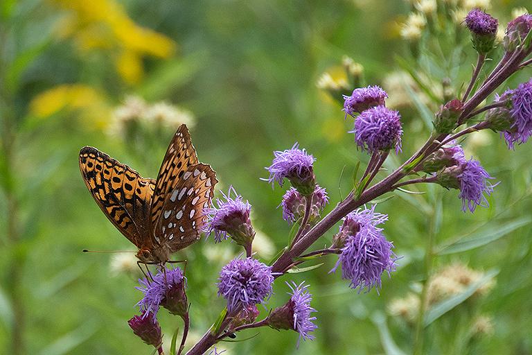 fritillary butterfly on meadow blazingstar