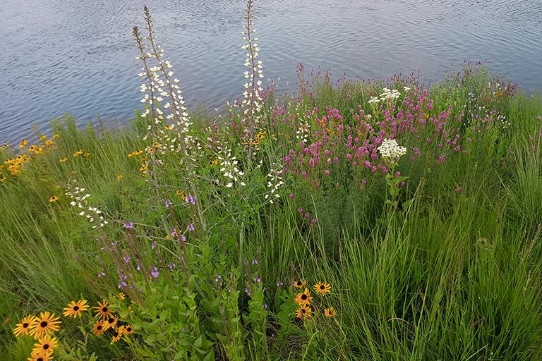 native seed mix along shoreline