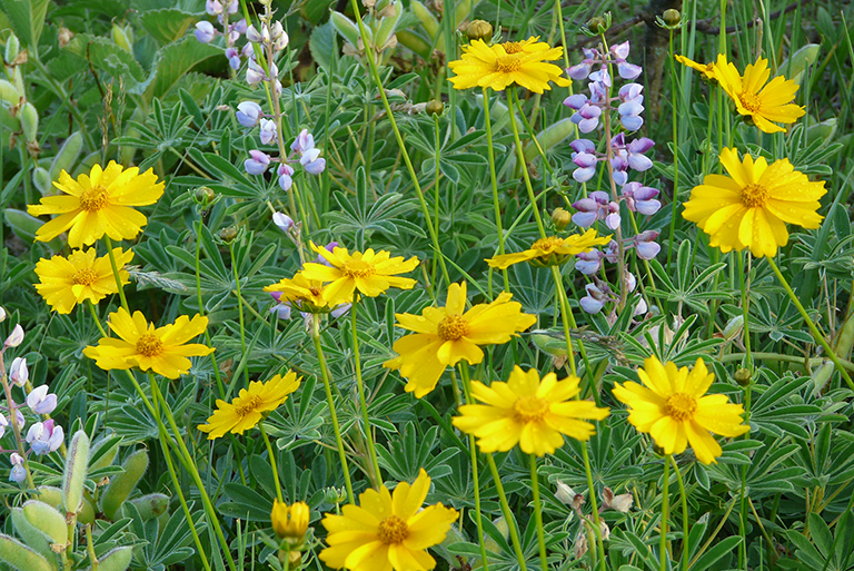 low growing meadow with coreopsis and lupine