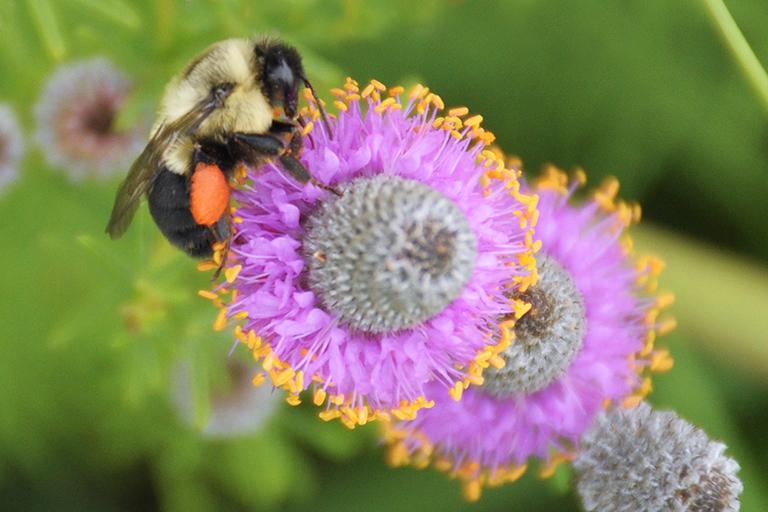 bumble bee on dalea purpurea