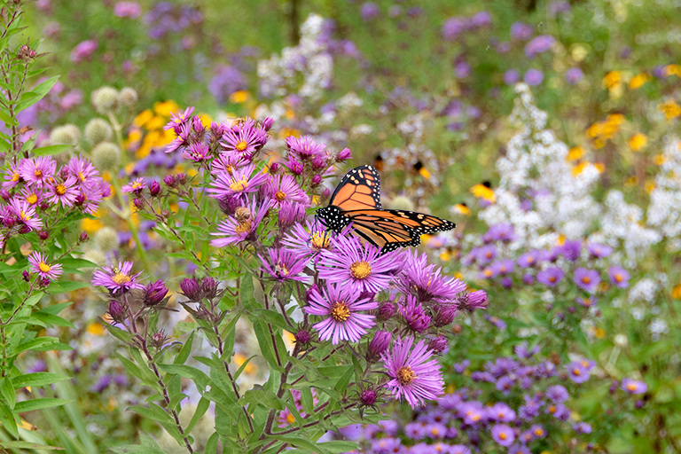 asters & goldenrods for monarch butterflies