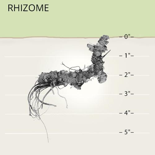 rhizomatous root