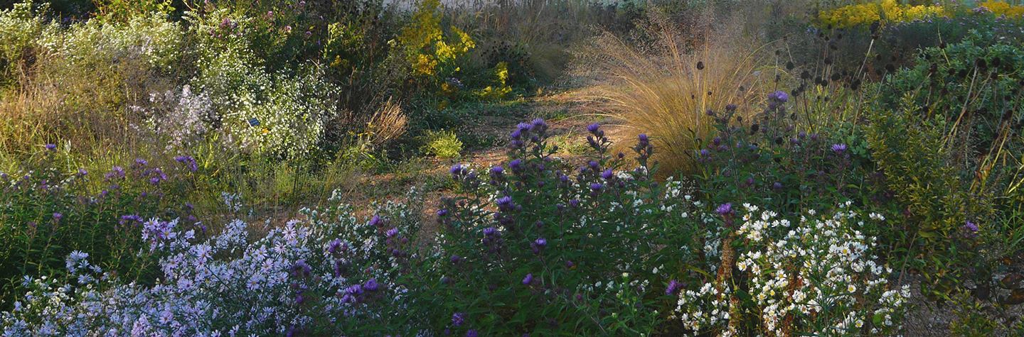fall garden with asters and grasses