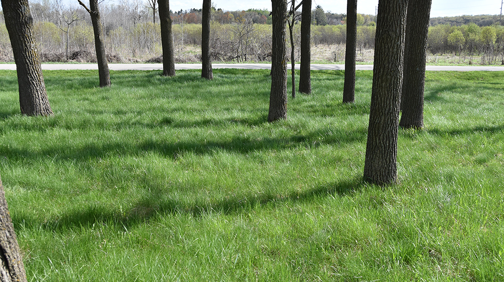 no mow lawn under walnut trees