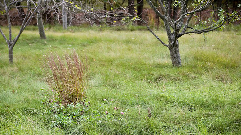 No mow in an orchard application