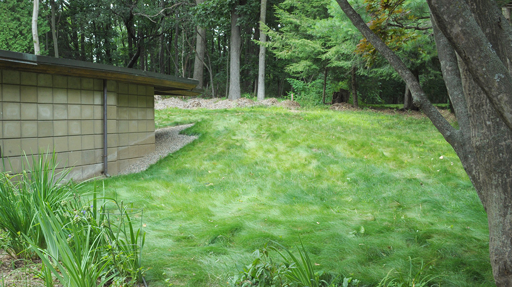 no mow lawn in partial shade